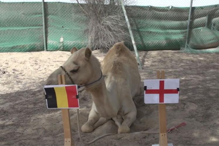 Tiên tri lạc đà dự đoán Bỉ sẽ đánh bại Anh.