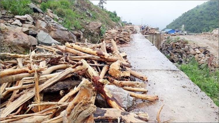 Bất chấp hiểm nguy, người dân Lai Châu vẫn đi vớt củi trong mưa lũ