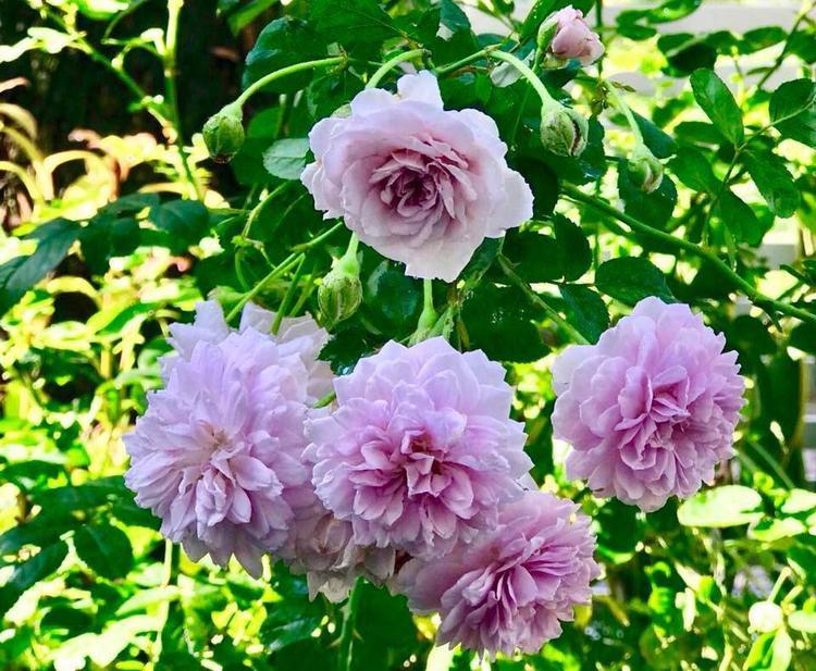 Cây hoa hồng với chùm hoa màu tím lạ mắt được vợ MC Quyền Linh - chị Dạ Thảo đăng tải trên trang cá nhân của mình. Hai vợ chồng có khu vườn từ lâu đã nổi tiếng được nhiều người yêu thích.