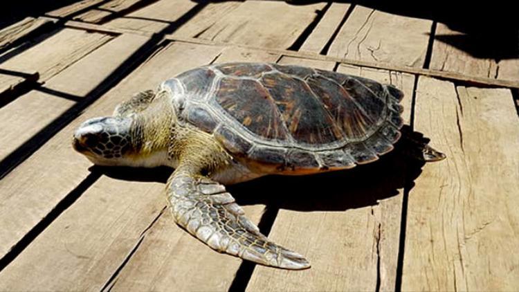Rùa vàng nặng 40kg.