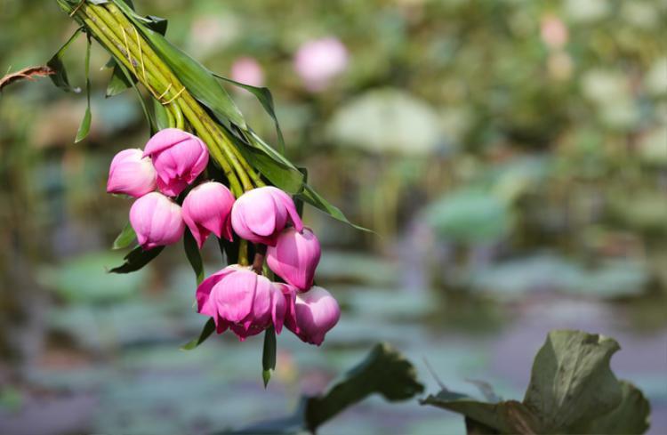 Những bó hoa được hái sẵn cho các bạn nữ thoải mái tạo dáng với sen, giá 5.000 đồng một bông.