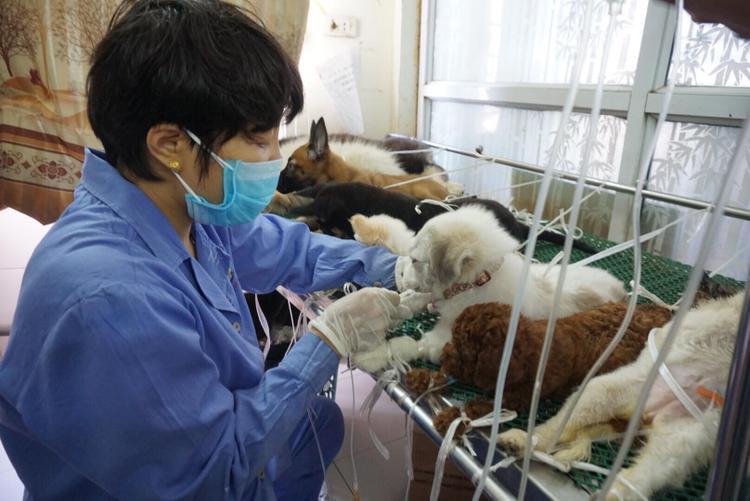 Các bác sĩ đang tiến hành truyền nước cho những con chó bị sốc nhiệt.