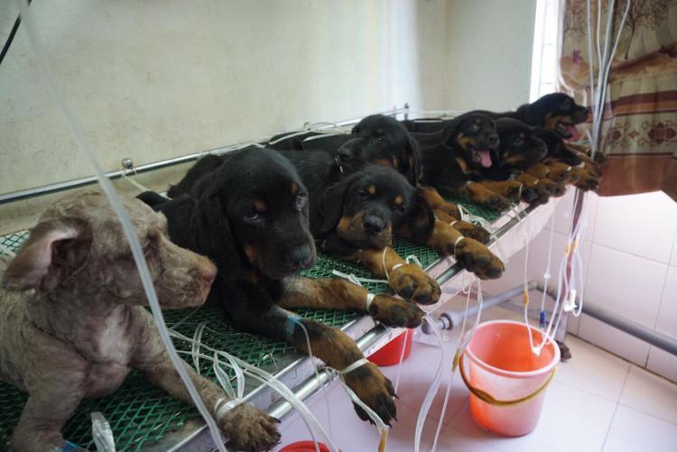 Nhiều nhà cả đàn chó 6,7 con bị ốm khi nắng nóng.
