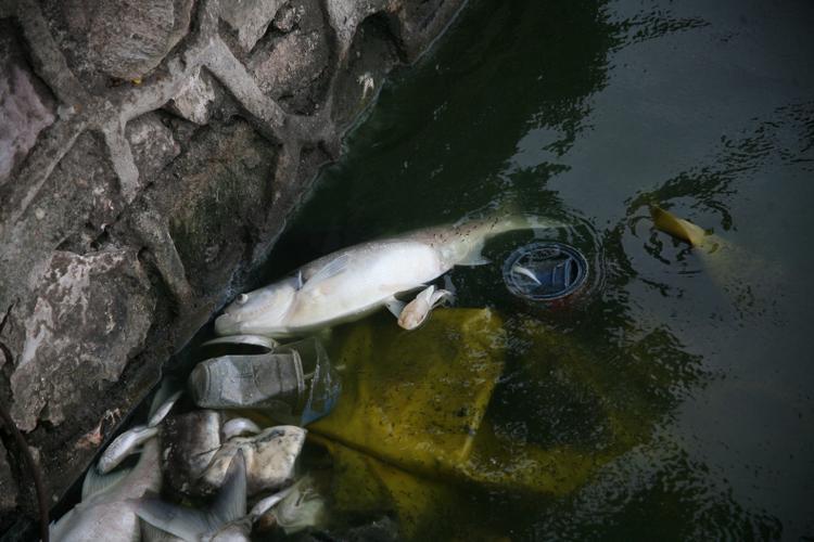 Cá chết có nhiều loại: chép, trắm, mè…. trong đó có rất nhiều con nặng gần 10kg