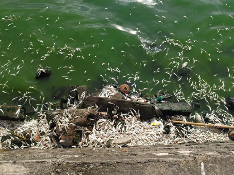 Khu vực đường Vệ Hồ và Nhật Chiêu rất nhiều loại cá chết trắng nổi ven hồ với đủ các loại như cá mè, rô phi, cá chép.