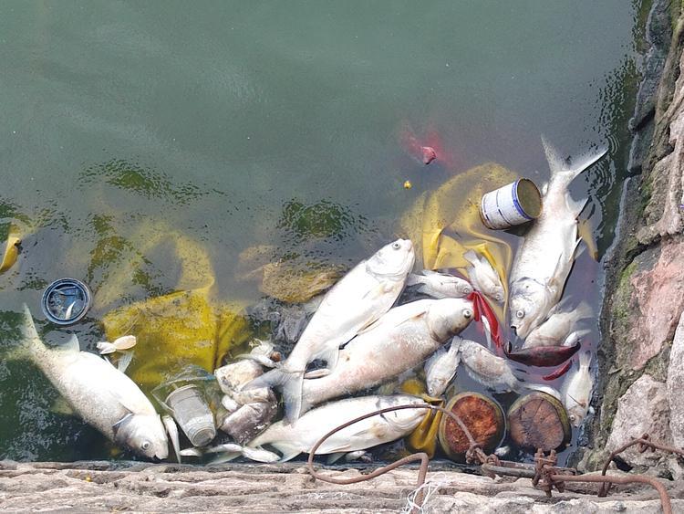 Số lượng cá chết càng về đêm càng nhiều hơn.
