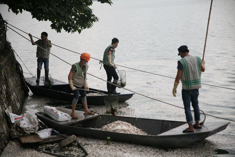 Được biết, từ sáng nay nhân viên vệ sinh môi trường đã tiến hành vớt cá chết nhưng số lượng ngày càng nhiều lên.