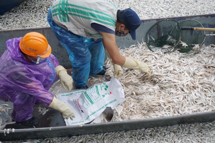 Công nhân gồng mình vớt cá chết sau khi xúc lên thuyền.