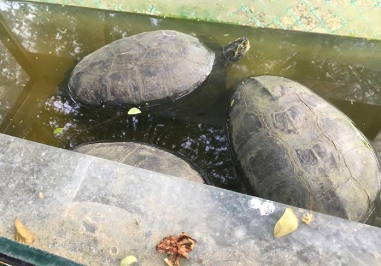 3 con cần đước (rùa) bị nuôi nhốt. (CACC)