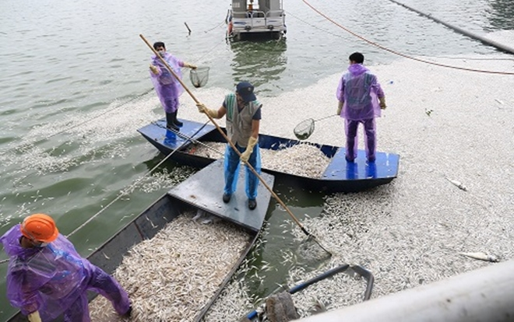 Hà Nội cho phép đánh bắt cá ở hồ Tây để giải quyết tình trạng cá chết. Ảnh:Gia Chính