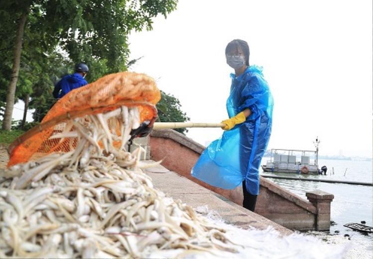 Cơ quan chức năng thu gom hơn 20 tấn cá chết trong những ngày qua. Ảnh:Gia Chính