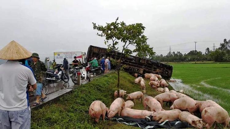 Các con lợn chạy toán loạn