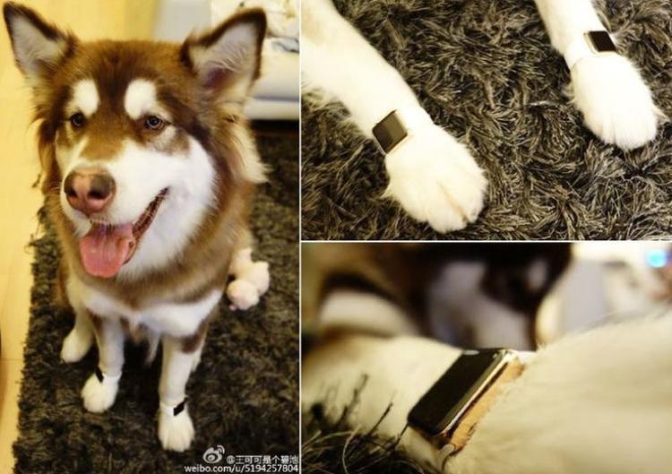 Jason Zhang còn mua đồng hồ Apple mạ vàng cho chó cưng.