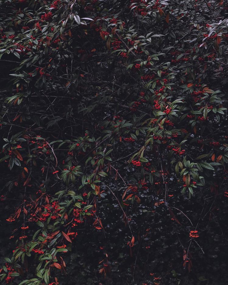 """Giải nhì Hoa - """"R(ed).G(reen).B(loom)"""": Chụp trong một chuyến đi tới Đại học Princeton. Đó là một ngày mưa, nhiều mây với ánh sáng nhẹ nhàng và hơi tối. Chúng làm nổi bật màu sắc tương phản của hoa đỏ và lá xanh. Chụp bằng iPhone X. (Zhendi Zhang)"""