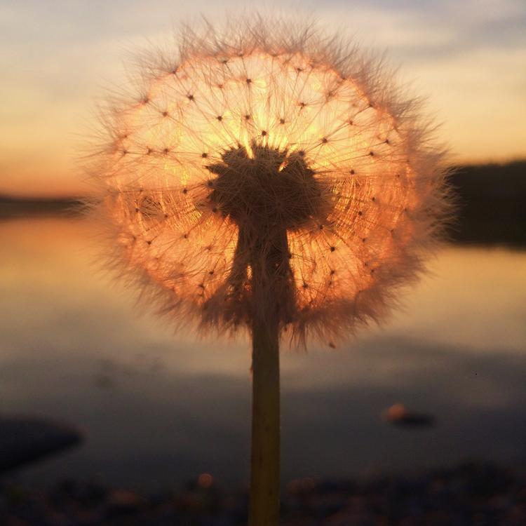"""Giải nhất Hoàng hôn - """"Dandelion sunset"""": Chụp bằng iPhone 5s. (Sara Ronkainen)"""