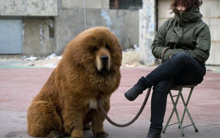 """Chó ngao Tây Tạng được ví là """"chúa tể của thảo nguyên""""."""