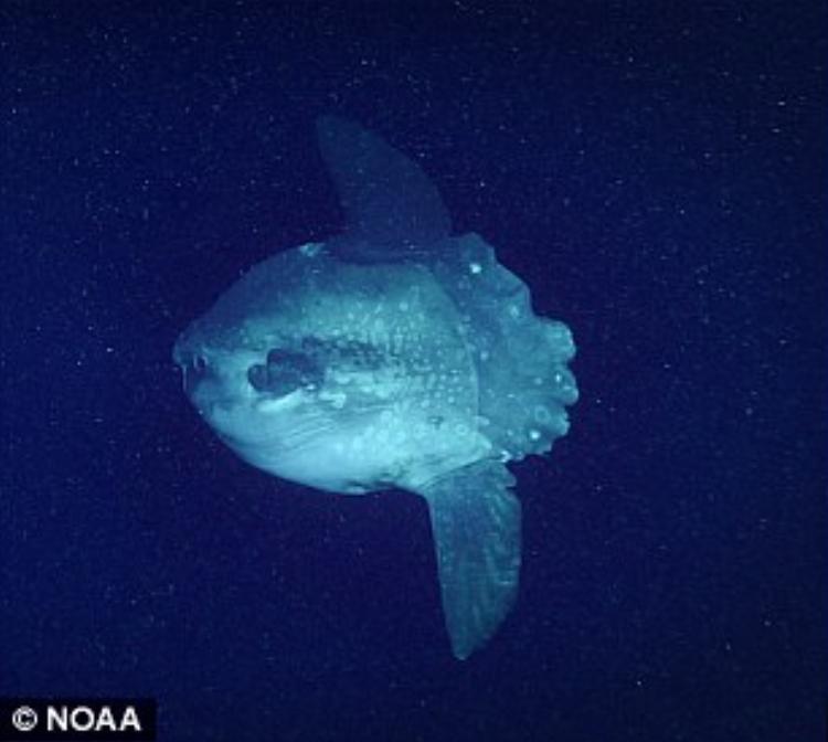 Con cá mặt trăng đầu tiên được tìm thấy trong khu vực.