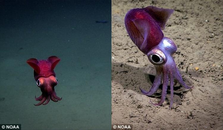 Nhóm thám hiểm cũng phát hiện một loài sinh vật đặc biệt khác là một con mực ống khói. Do có thể biến đổi màu trong tích tắc nên chúng còn được biết đến với cái tên mực nang biến đổi.