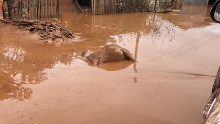 Nước chỉ còn ngập đến đầu gối nhưng bùn đỏ bám đặc quánh trên tất cả những gì từng là tài sản của họ. Quanh đó là những xác bò, lợn trương phình nổi trên mặt nước đục ngầu. Ảnh: Người lao động