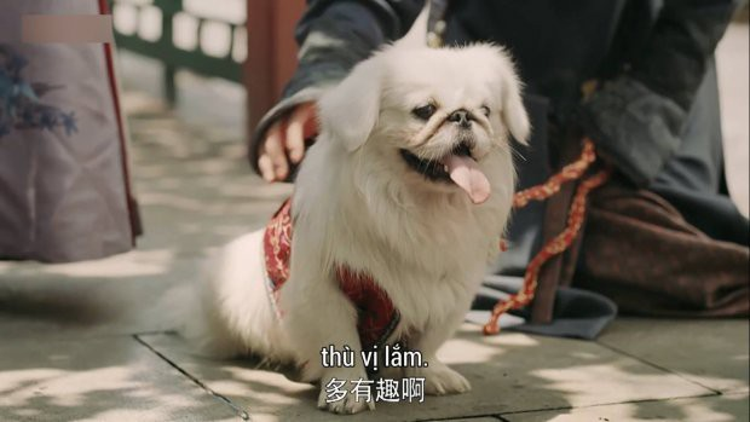 Hay là giống loài có họ hàng với chú chó Tuyết Cầu của Cao quý phi?