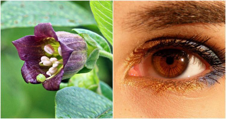 """Nếu dùng lâu, loài cây """"Belladonna"""" này có thể khiến người sử dụng bị mù loà vĩnh viễn."""