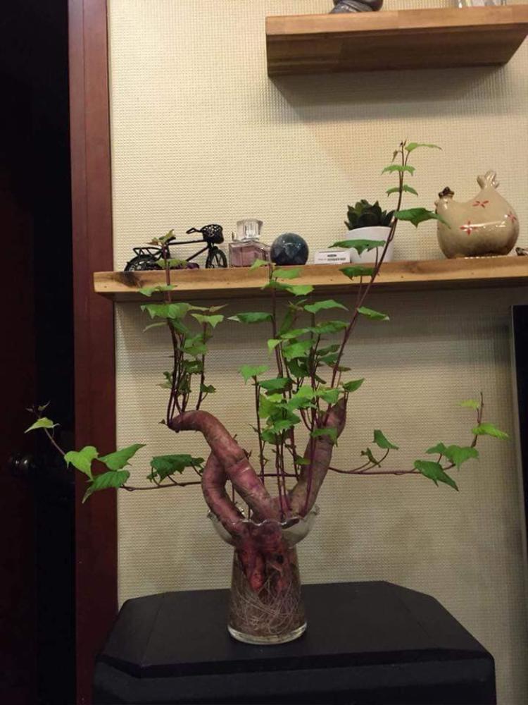 """Nhìn cũng """"chanh sả"""" kém gì các giống cây cảnh khác đâu! Ảnh: Lê Thị Phương."""