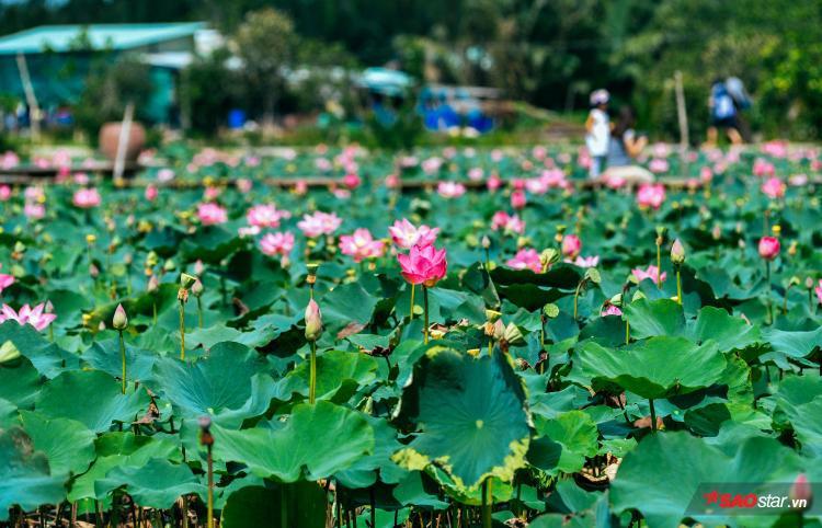 Không còn phải lặn lội tới tận Đồng Tháp mới có sen hồng. Hiện nay, ở ngay tại Sài Gòn vẫn có một hồ sen đang nở rộ, nhanh chóng thành điểm đến lý tưởng cho các bạn trẻ yêu thích chụp hình.