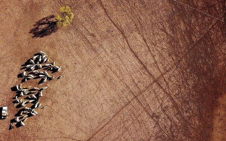 Các trang trại gặp nhiều khó khăn khi hạn hán xảy ra vì giá thành thực phẩm cho gia súc tăng cao.