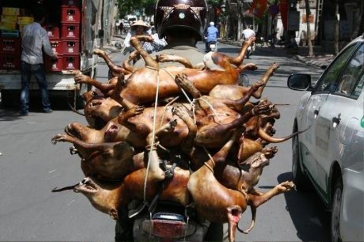 Theo Sở Thú y Hà Nội, việc vận chuyển chó giết mổ (chó thui) trên đường không được che đạy đã tạo ra những phản cảm đối với người đi đường
