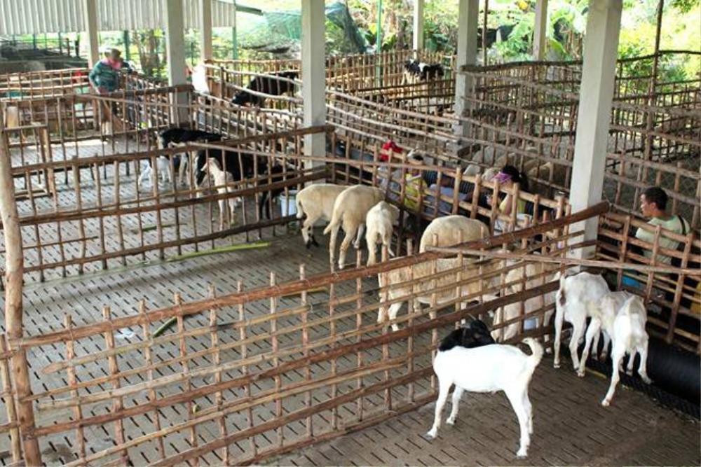 Khu vực chăn nuôi của nông trại rộng hơn 6 ha, với các loại gia súc như bò, dê, cừu... Bà Võ Thị Diễm Miều, đại diện nông trại cho biết, chủ đầu tư quyết định triển khai mô hình này khi nhận thấy những dịch vụ trải nghiệm về chăn nuôi chưa có tại TP HCM. Không ngờ, chương trình đã thu hút nhiều khách tham quan. Nông trại đang tiếp tục nhập thêm nhiều loại thú nuôi và tổ chức phong phú thêm.