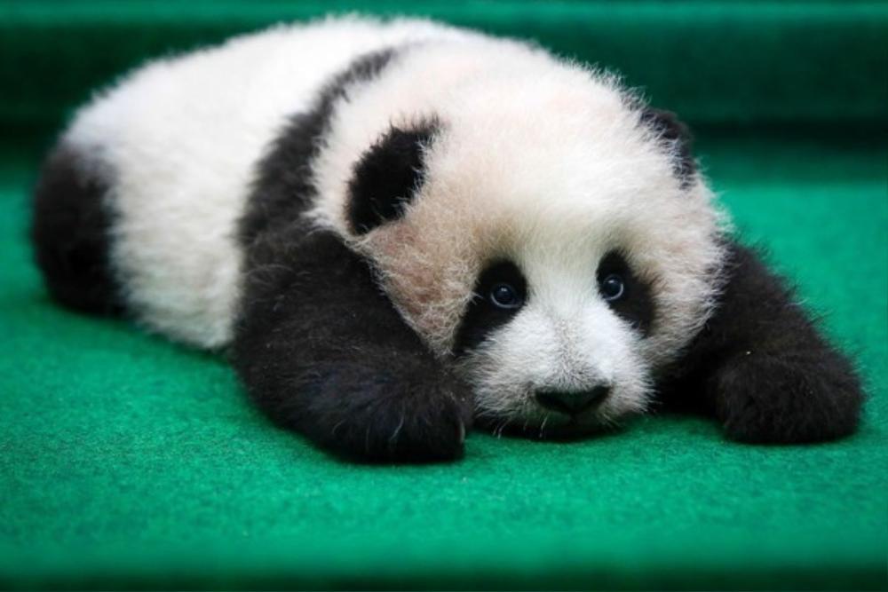 Cô gấu trúc đáng yêu 3 tháng tuổi tại khu Trung tâm bảo tồn gấu trúc tại Vườn thú quốc gia, thành phố Kuala Lumpur, Malaysia. Loài động vật dễ thương nhất Trái Đất hiện đang đứng trước nguy cơ tuyệt chủng rất cao vì số lượng rừng tre, trúc đang ngày càng cạn kiệt vì khí hậu thay đổi.