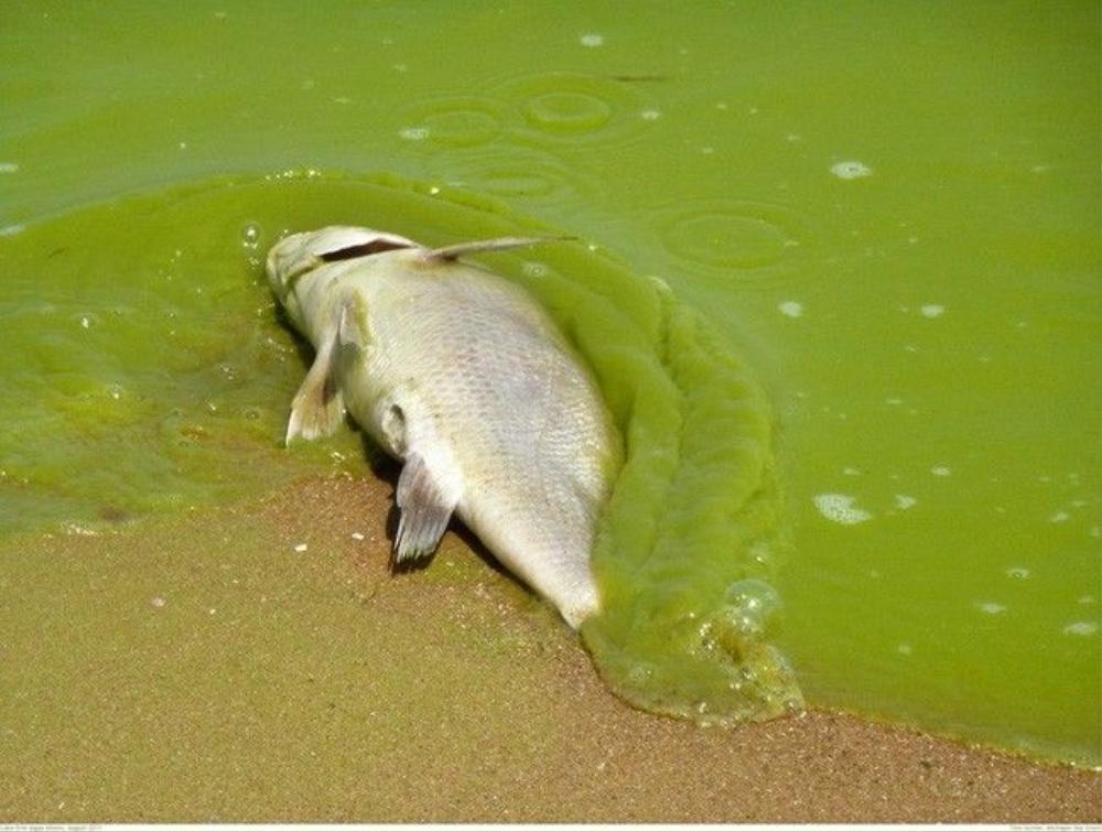 dead-fish-algal-bloom-1024x774-1461775110381