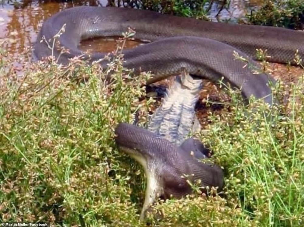 trăn nuốt cá sấu.