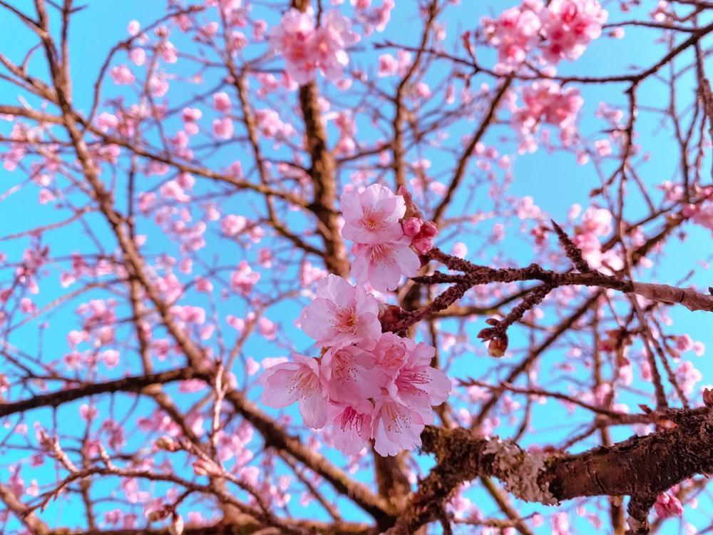 Hoa anh đào nở tuyệt đẹp giữa tiết trời giá lạnh ở Sa Pa Ảnh 4