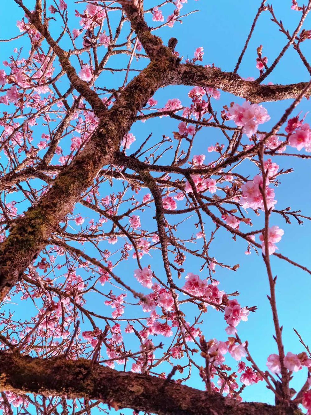 Hoa anh đào nở tuyệt đẹp giữa tiết trời giá lạnh ở Sa Pa Ảnh 6