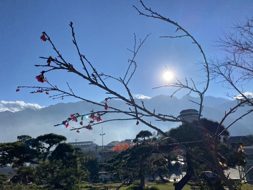 Hoa anh đào nở tuyệt đẹp giữa tiết trời giá lạnh ở Sa Pa Ảnh 7