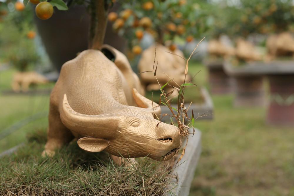 Trâu vàng 'cõng' quất bonsai rục rịch đón Tết Tân Sửu Ảnh 10