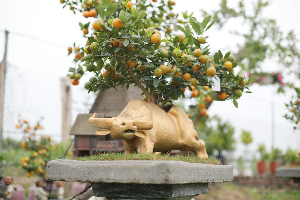 Trâu vàng 'cõng' quất bonsai rục rịch đón Tết Tân Sửu Ảnh 11