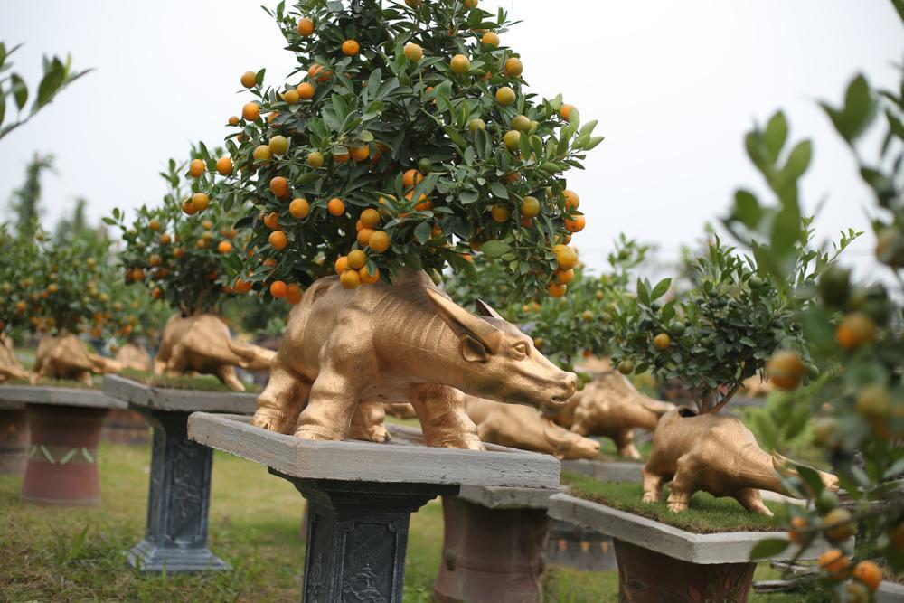Trâu vàng 'cõng' quất bonsai rục rịch đón Tết Tân Sửu Ảnh 13