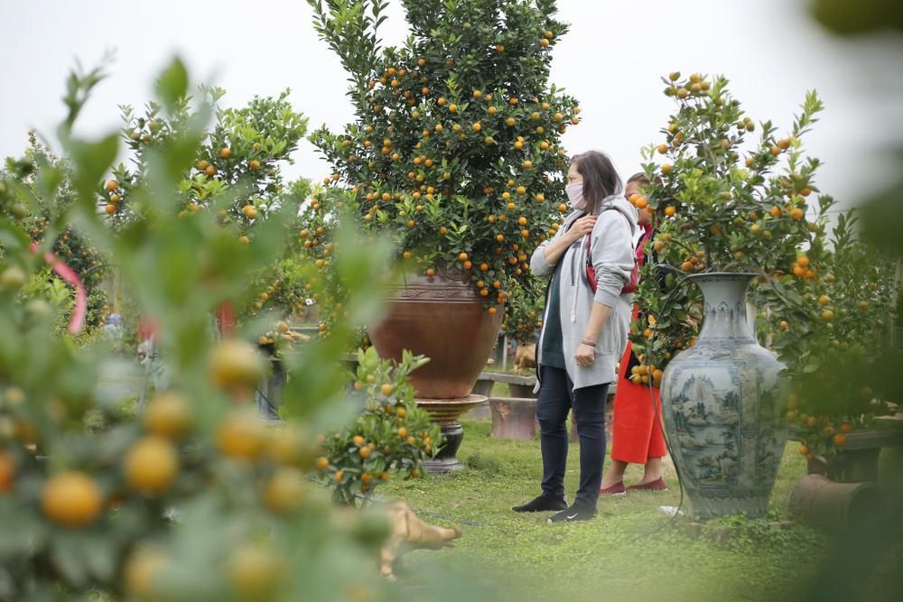 Trâu vàng 'cõng' quất bonsai rục rịch đón Tết Tân Sửu Ảnh 8