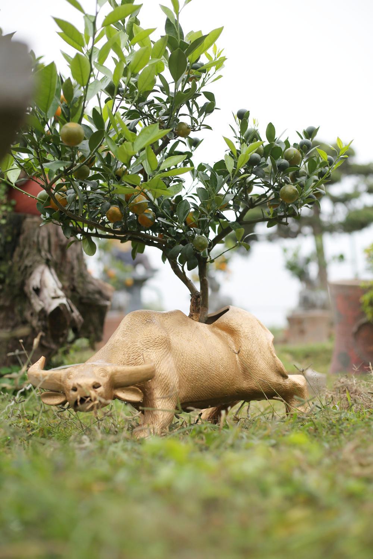 Trâu vàng 'cõng' quất bonsai rục rịch đón Tết Tân Sửu Ảnh 15