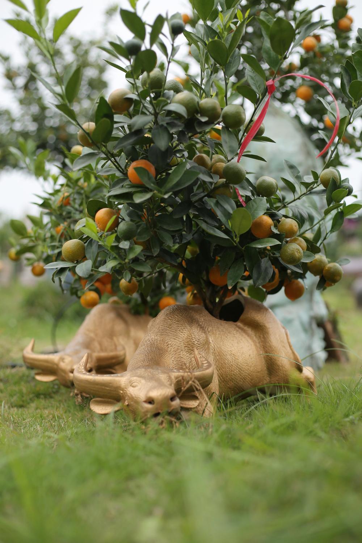 Trâu vàng 'cõng' quất bonsai rục rịch đón Tết Tân Sửu Ảnh 14