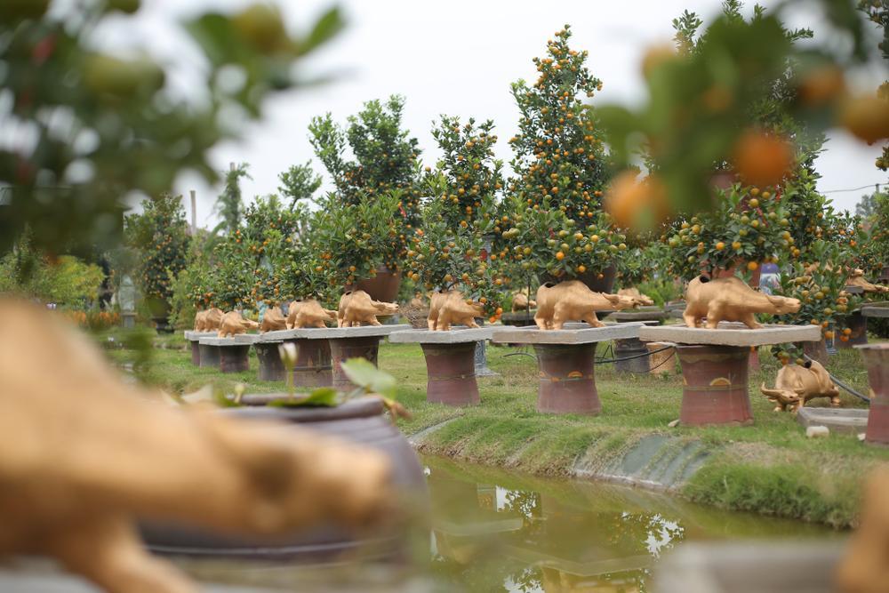 Trâu vàng 'cõng' quất bonsai rục rịch đón Tết Tân Sửu Ảnh 6
