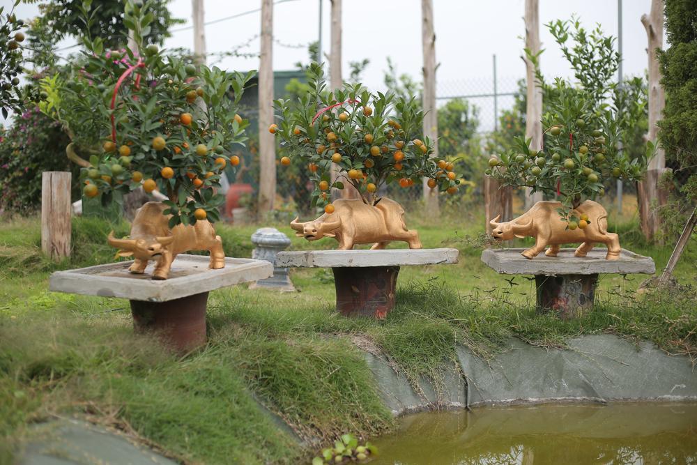 Trâu vàng 'cõng' quất bonsai rục rịch đón Tết Tân Sửu Ảnh 17