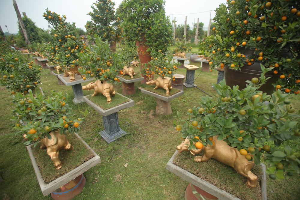 Trâu vàng 'cõng' quất bonsai rục rịch đón Tết Tân Sửu Ảnh 2