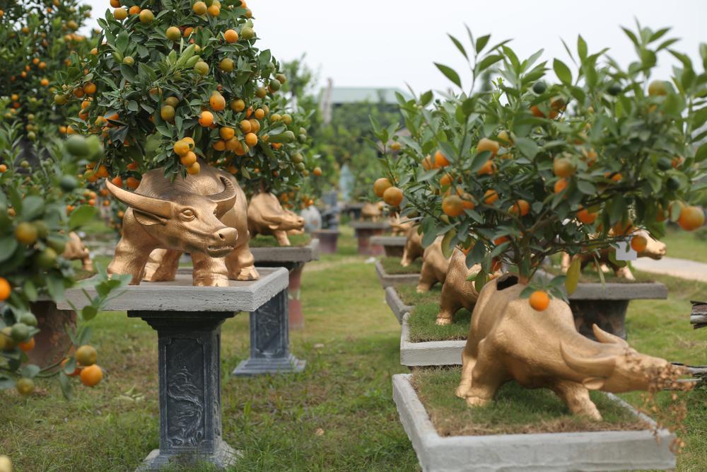 Trâu vàng 'cõng' quất bonsai rục rịch đón Tết Tân Sửu Ảnh 4