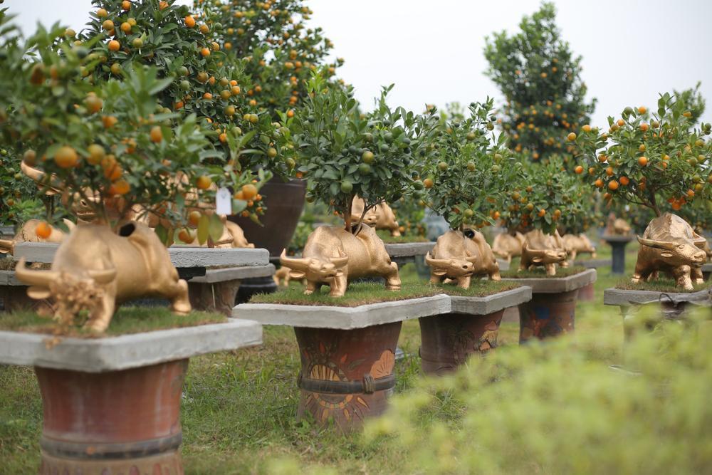 Trâu vàng 'cõng' quất bonsai rục rịch đón Tết Tân Sửu Ảnh 16