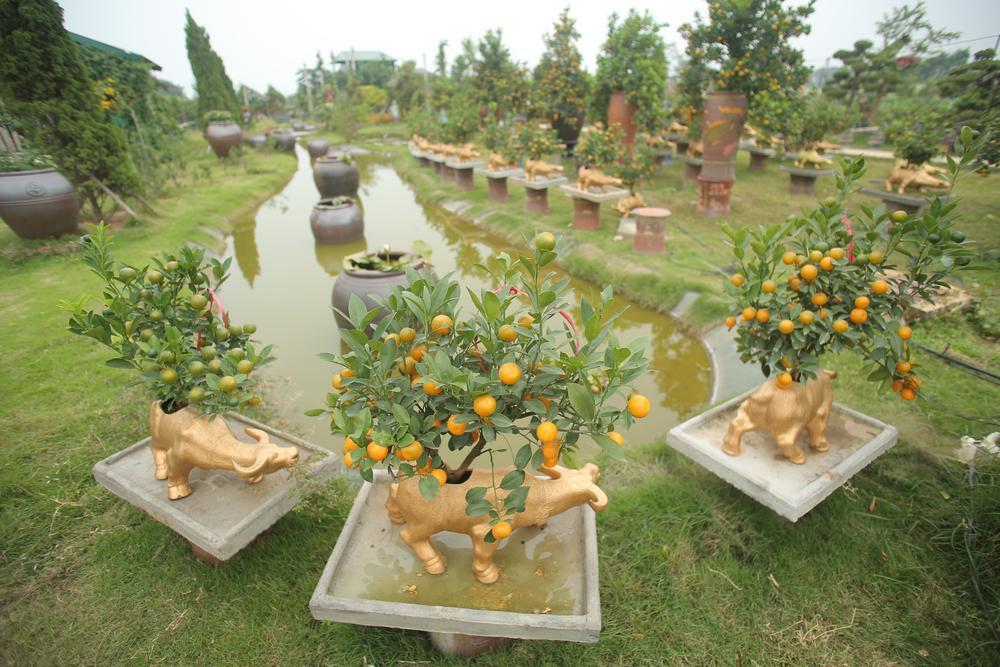 Trâu vàng 'cõng' quất bonsai rục rịch đón Tết Tân Sửu Ảnh 3