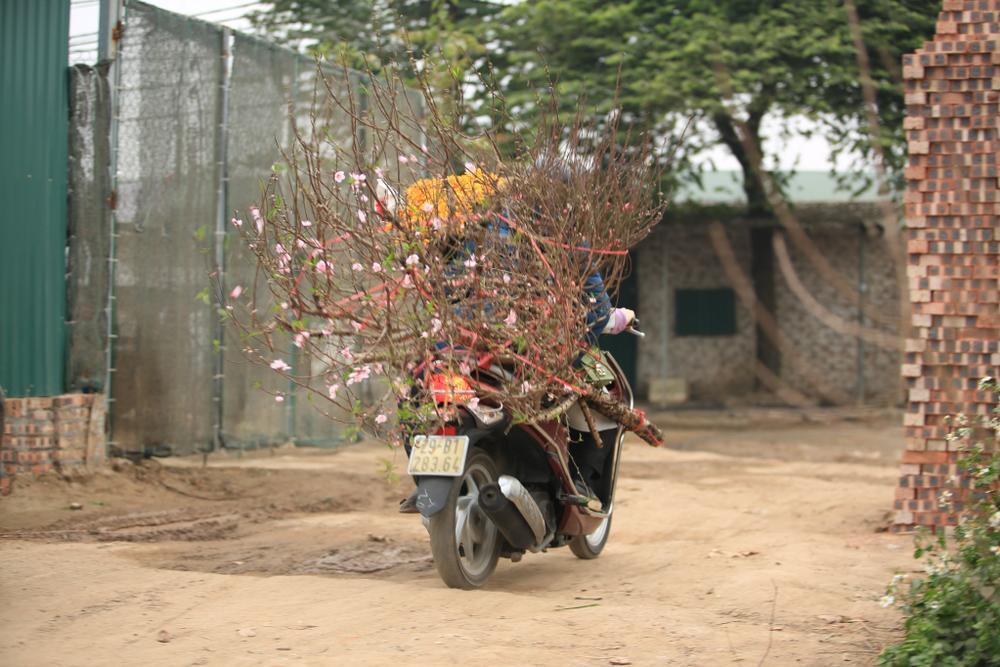 Tiểu thương vào tận vườn trả giá cao, nhiều người dân làng Nhật Tân 'hốt bạc' khi có đào bán trước Tết Ảnh 8
