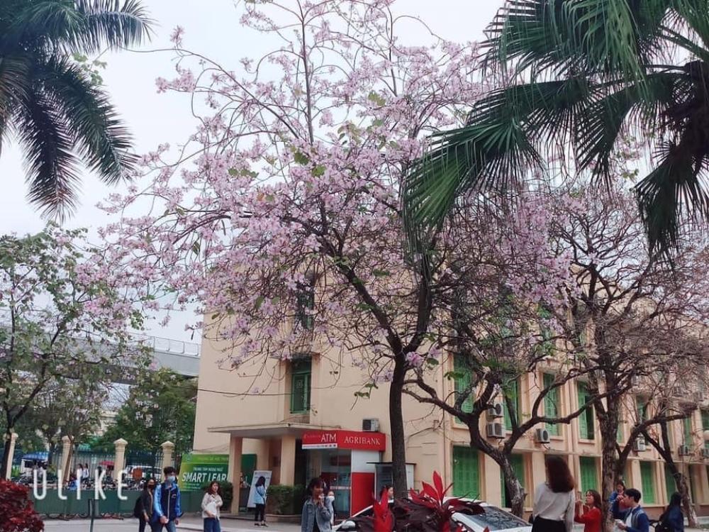 Tháng 2 này, đẹp nao lòng với ngôi trường ở Hà Nội nở rộ sắc tím hoa ban Ảnh 1